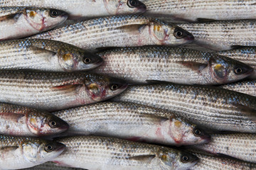 fresh gray mullet fish at the market