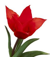 mauve tulip flower