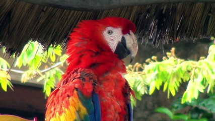 Neotropical parrot - Macaw - Scarlet Macaw