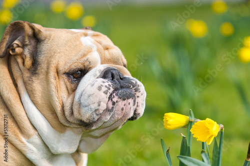 Happy cute english bulldog dog in the spring field