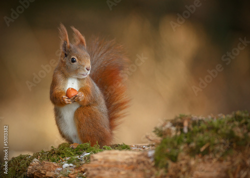 In de dag Eekhoorn Red squirrel looking right
