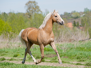 palomino pony runs