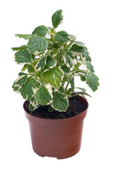 Plectranthus in a pot on a white background