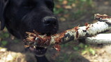 Black labrador gnawing a stick. Two closeup   shots in one clip.