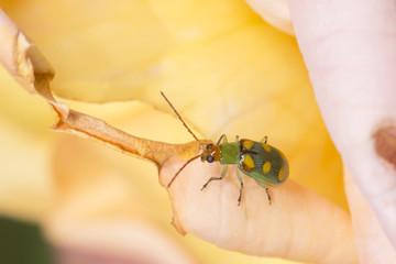 Cucurbit Beetle Walking on a Rose