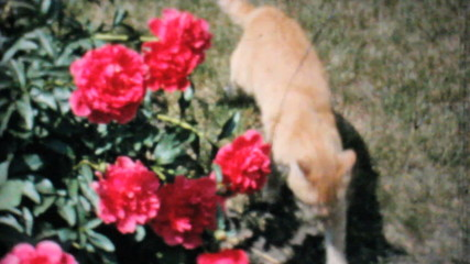 Cat Explores Beautiful Roses In The Garden-1962 Vintage 8mm film