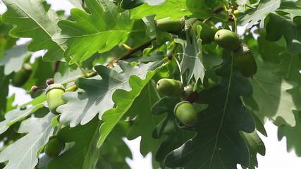 green acorns