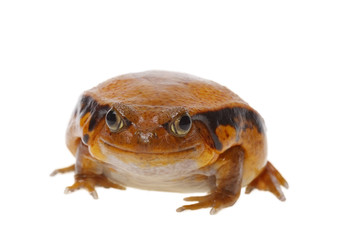 toad tomato