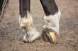 Horse hoofs with horseshoe close up