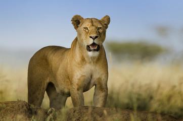 sfondo di leonessa con sguardo pericoloso