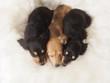 眠る3匹のミニチュアダックスの子犬