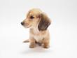 ミニチュアダックスの子犬