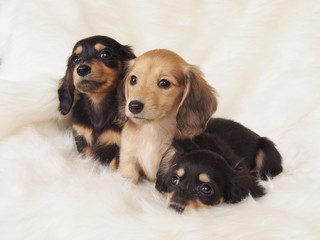 3匹のミニチュアダックスの子犬