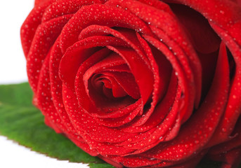 Red rose - Rosa rossa