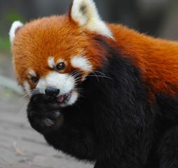 Red panda bear eating apple
