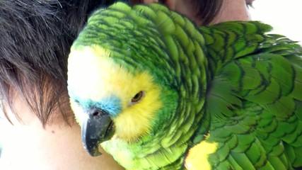 Zahmer Papagei ( Blaustirnamazone ) auf der Schulter im Freien