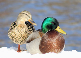 Mallard Duck Mates - resting on snow, lake in background
