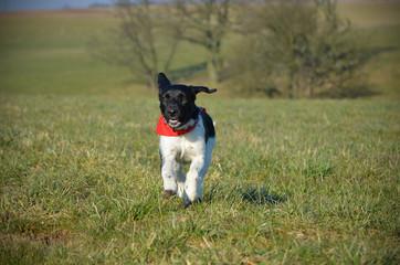 Hund läuft zu
