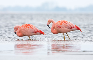 Chilean Flamingo at a lake in the Netherlands