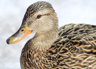Mallard Duck Female - also called a Hen