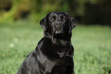 Beautiful labrador retriever looking at you