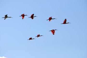 Scarlet Ibis squadron