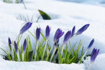 Violette Krokusse wachsen durch den Schnee im zeitigen Frühjahr
