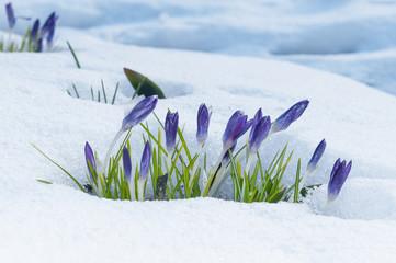 Violette Krokusse im Frühjahr im Schnee