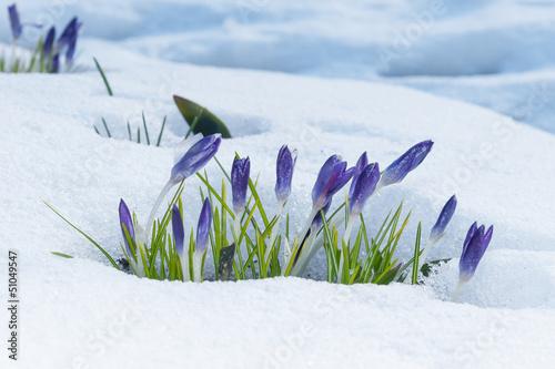 Fotobehang Krokus Violette Krokusse im Frühjahr im Schnee