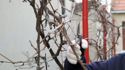 Pruning grape in a vineyard, planting in spring