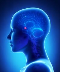 Amygdala - female brain anatomy lateral view