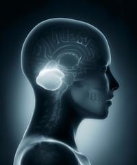 Cerebellum medical x-ray scan