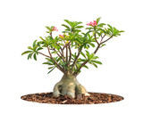 Adenium obesum tree also known as Desert Rose, Impala Lily, Mock