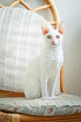 Cornish Rex kitten looking at photographer
