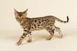 Katzen-Bengal-8822