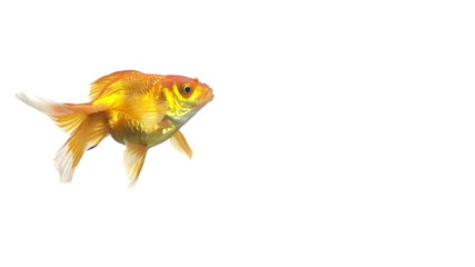 goldfish animal isolated on white background