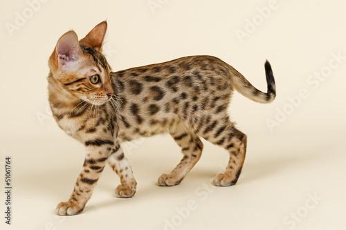 Katzen-Bengal-8823