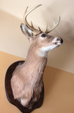 Deer head on wall