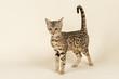 Katzen-Bengal-8893
