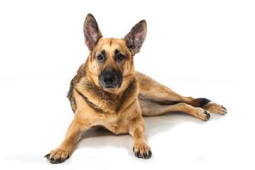 German shepherd dog - Deutscher Schäferhund