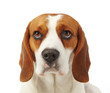 Portrait of young dog beagle