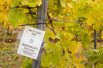 vineyard (riesling), Germany