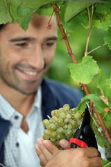 Grape grower cutting a bunch of grapes