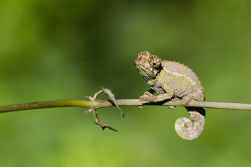 Chameleon sits on a branch