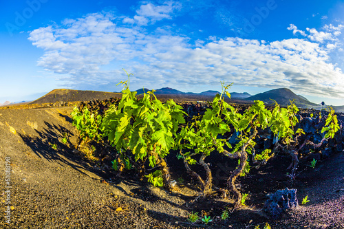 In de dag Wijngaard beautiful grape plants grow on volcanic soil in La Geria