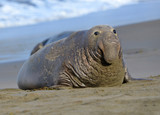 elephant seal, male adult beachmaster, big sur, california