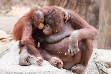 Mother and baby orangutans