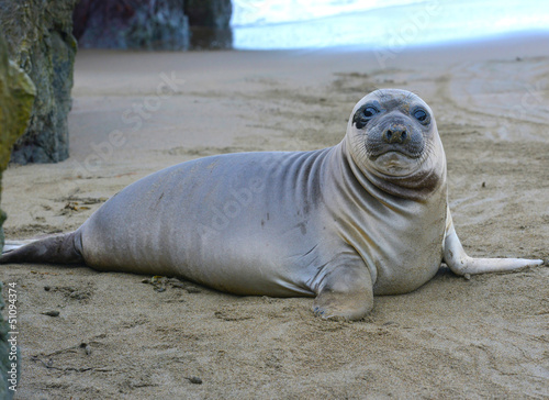 elephant seal, new born pup or infant, big sur, california