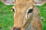 Deer (brow-antlered) poster