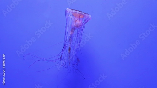 jellyfish medusa underwater video full HD DSLR  video 1080P